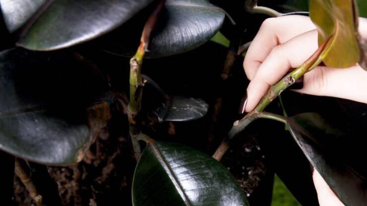 Presađivanje sobnog bilja